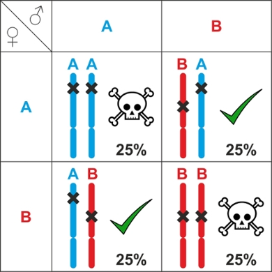 Inheritance table. Only individuals with the AB/BA allele combination are viable. If two AB parents mate, their offspring can have four types of combinations: AA, AB, BA or BB. The chance of each of these combinations is 25%. So there is a 50% chance of inviable AA or BB offspring.