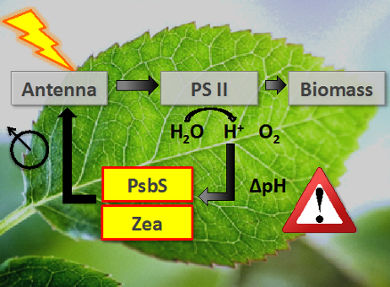 Structure and regulation in photosynthesis - Leiden University